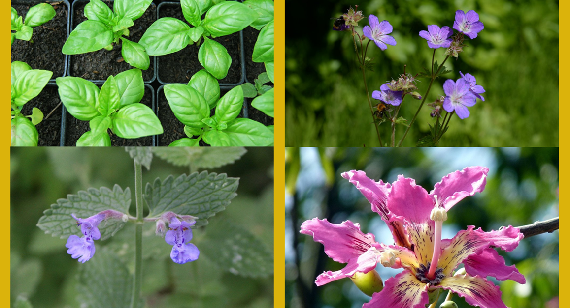 12 amazing plants that naturally keep mosquitoes from for What plants naturally repel mosquitoes