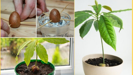 Planning on planting an avocado tree this tutorial will for Grow your own avocado tree from seed